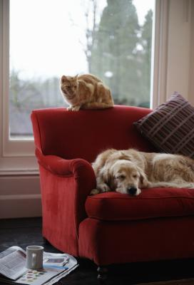 Goldendoodle With Anxiety Pets