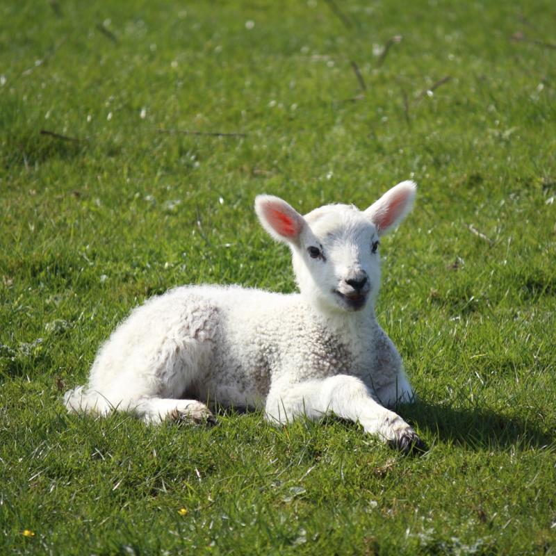 How to Control Scours in Baby Lambs | Animals - mom me