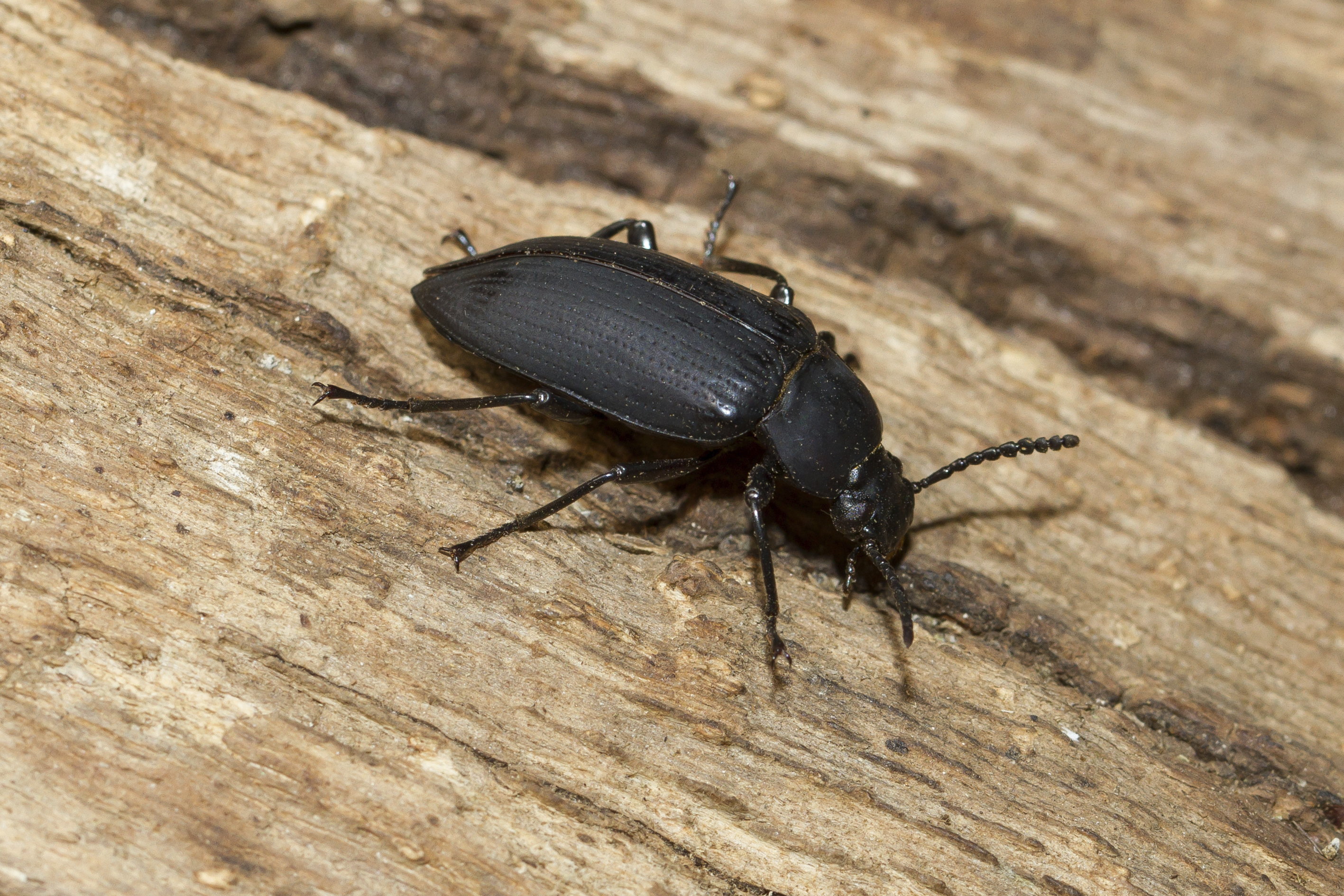 How To Identify Black Beetles