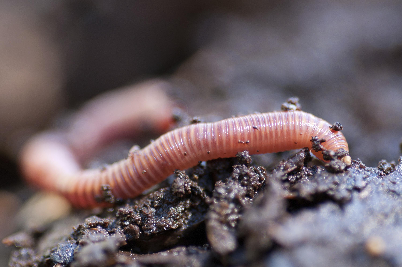 Earthworm Characteristics Sciencing