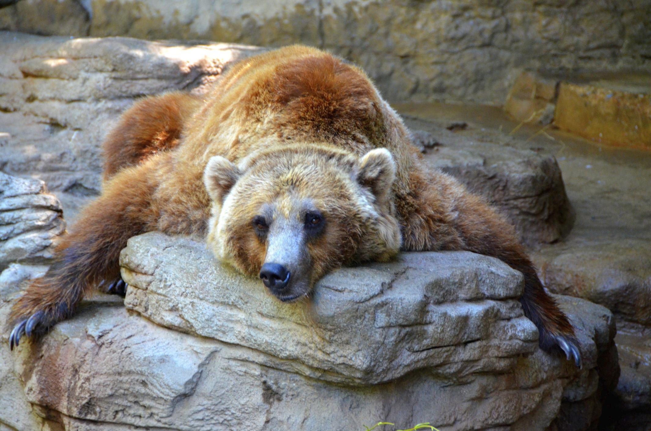 Dangtis Paskalos Neteisybė How Long Do Bears Sleep During Hibernation Yenanchen Com