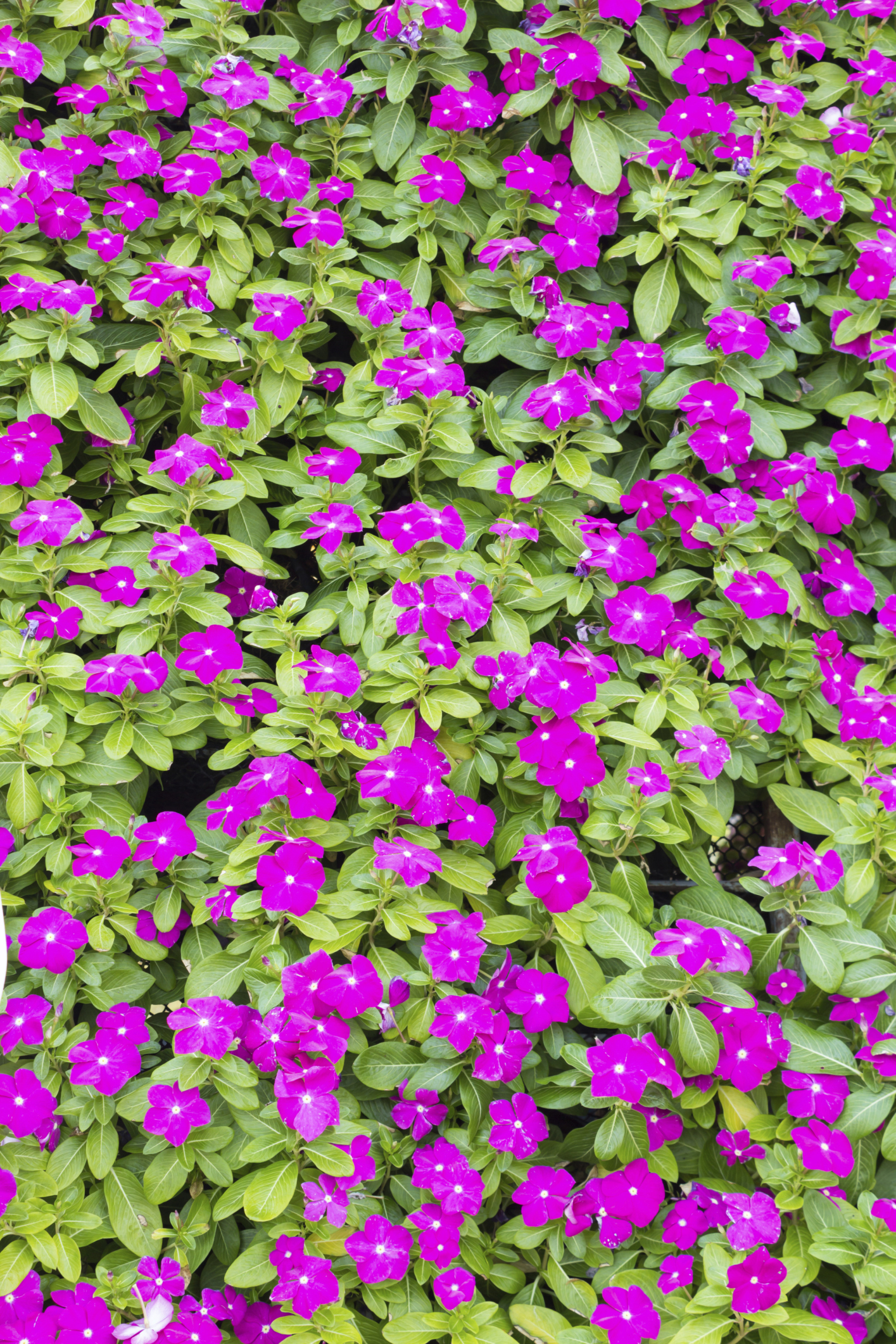 How To Take Care Of Vinca Flowers Home Guides Sf Gate
