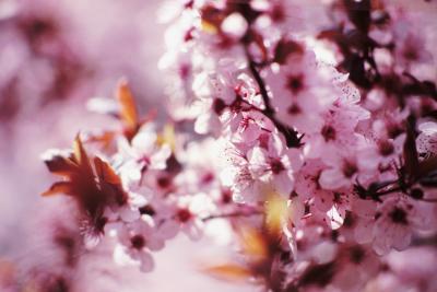 Sand Cherry Diseases