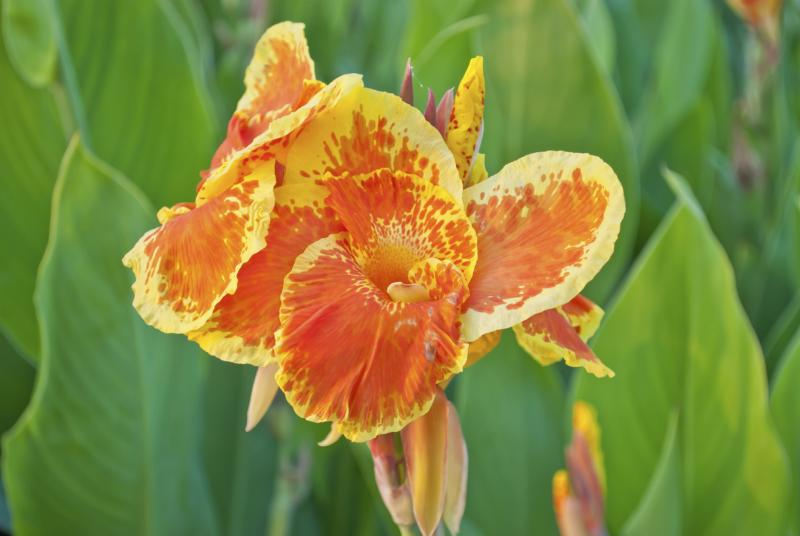 Identification Guide For Different Varieties Of Canna X Generalis