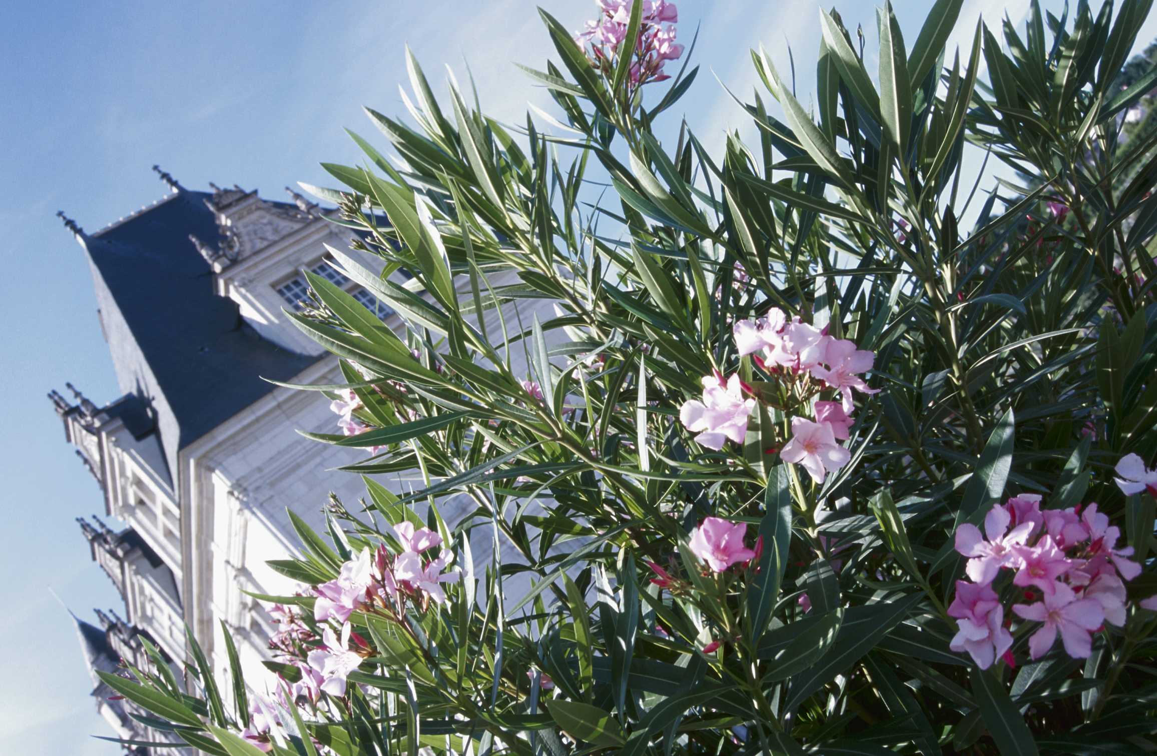 Oleander toxicity