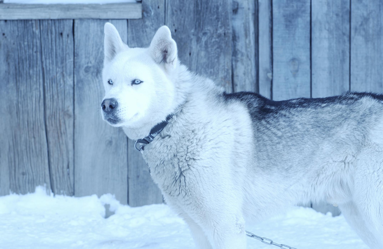 Hábitat del Husky Siberiano