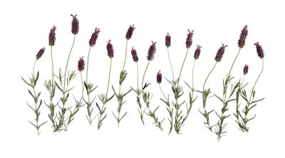 How To Prune French Lavender Home Guides Sf Gate