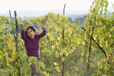 How To Tie Grapevines In A Vineyard Home Guides Sf Gate
