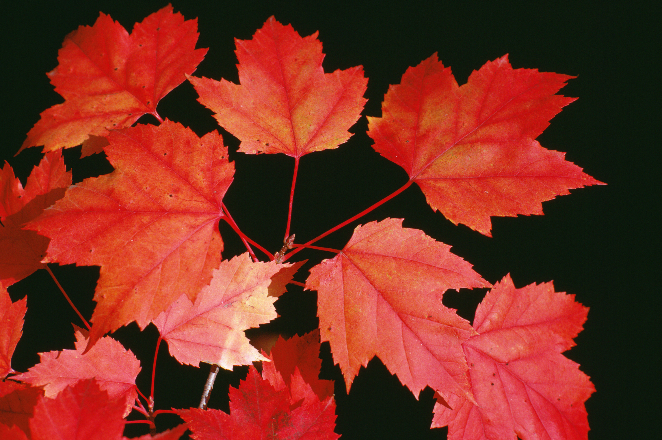 Space Requirements For A Sunset Maple Tree Its Roots Home Guides