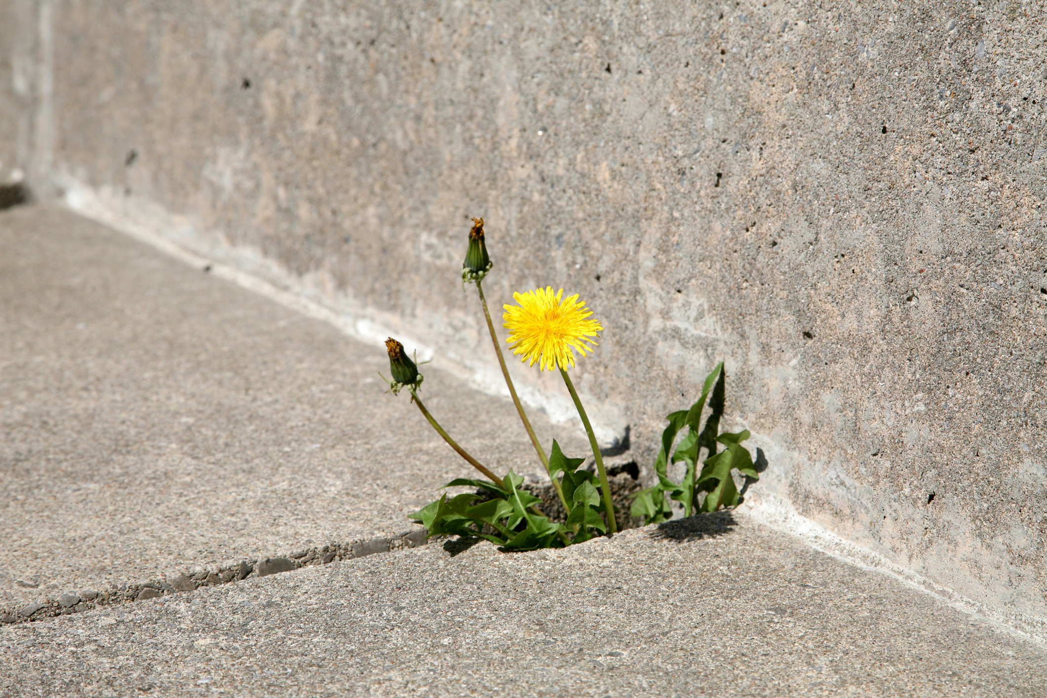 How To Kill Weeds With Baking Soda Home Guides Sf Gate