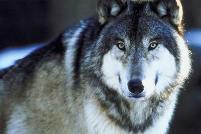 Where Do Timber Wolves Live Animals Mom Me