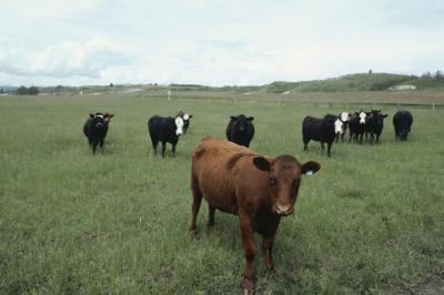 ear tags for fly control in cattle  calves  animals  mom