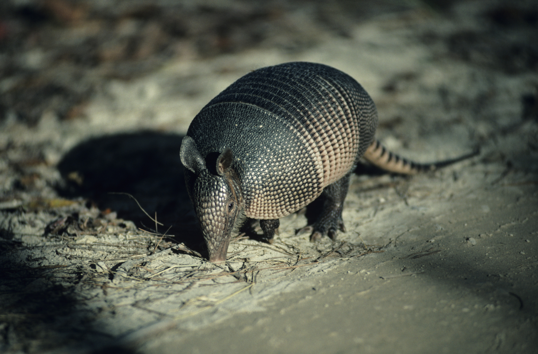 How to Get Rid of Armadillos How to Get Rid of Armadillos new pics