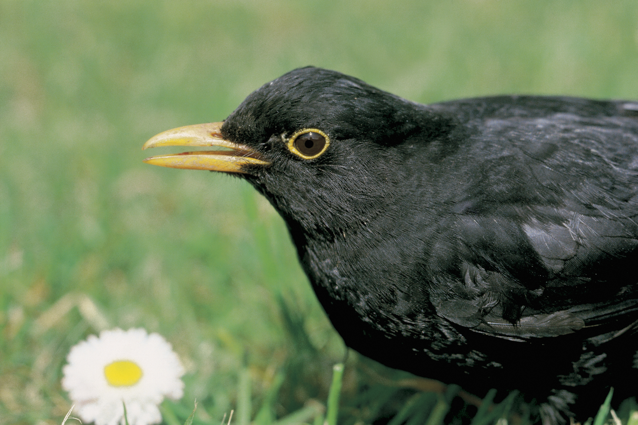 How to Keep Blackbirds Away From a Yard | Home Guides | SF Gate
