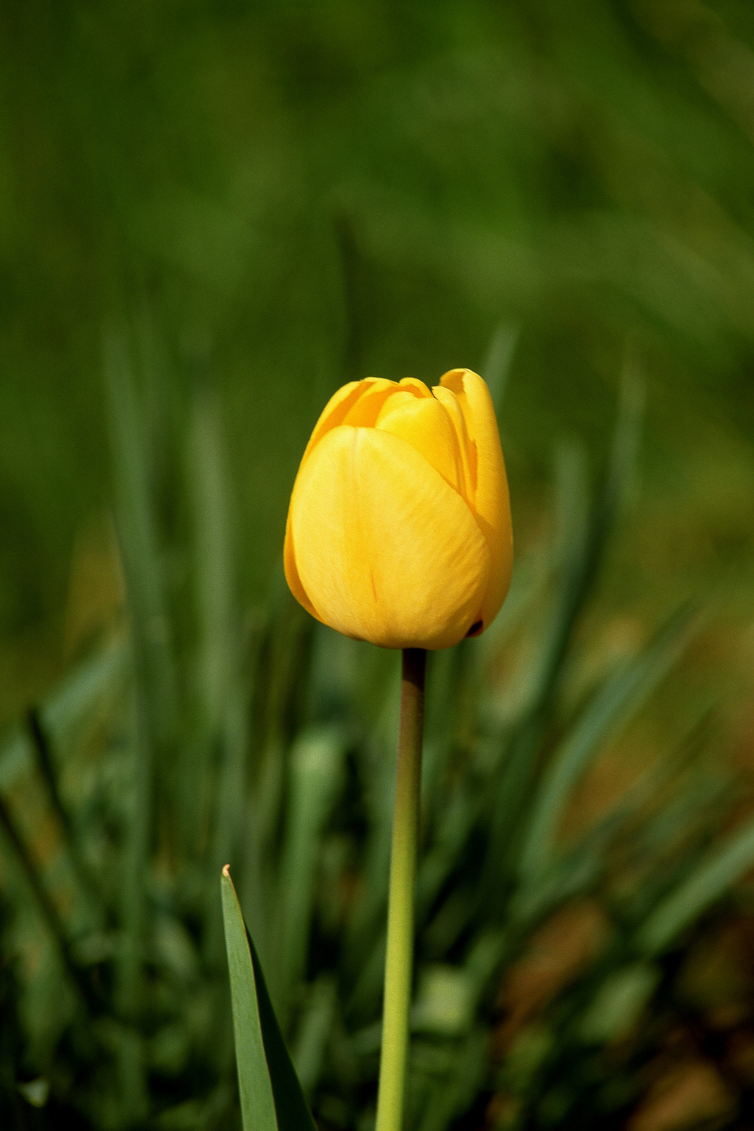 Home Guides - SFGate & How to Plant Tulips in the Spring   Home Guides   SF Gate
