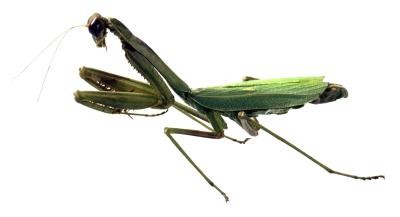 How To Know When A Praying Mantis Is Pregnant Animals Mom Com