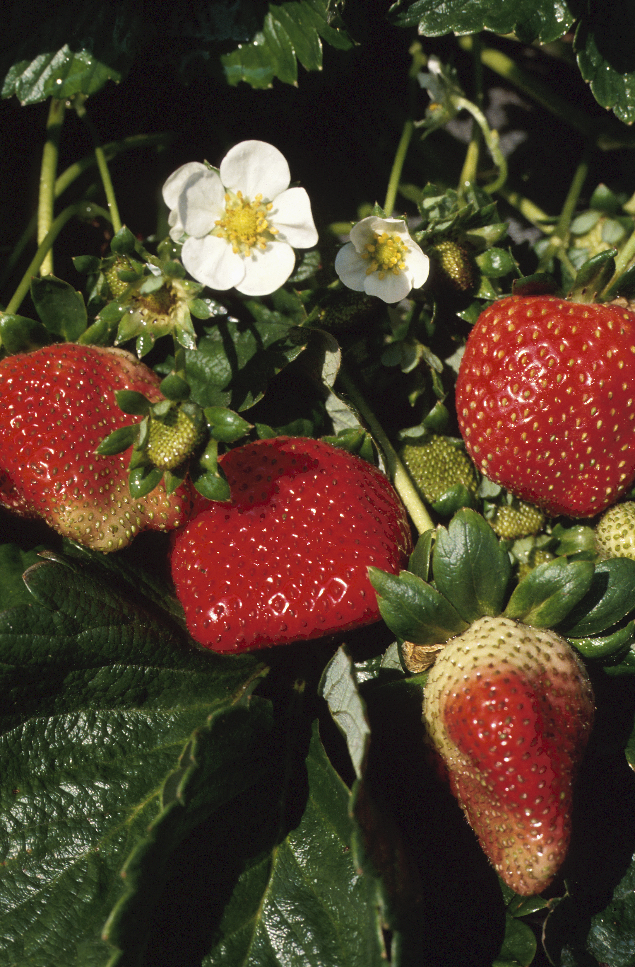 How to Grow Strawberries in Rain Gutters   Home Guides   SF Gate
