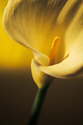 Kalla liliom parazitákkal Fehér tölcsérvirág, fehér kála Zantedeschia aethiopica