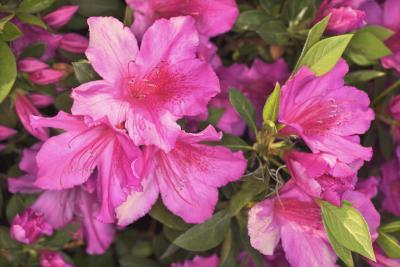 Dying Azalea Flowers In A Garden
