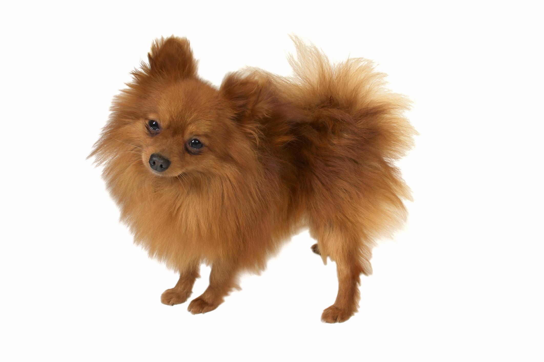 Pomeranian Coat Types Animals Mom