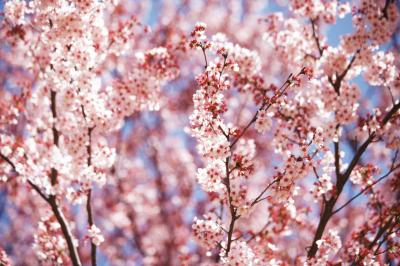 Are Cherry Blossoms Poisonous To Cats