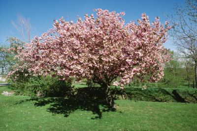Cherry Tree Bark Rotting