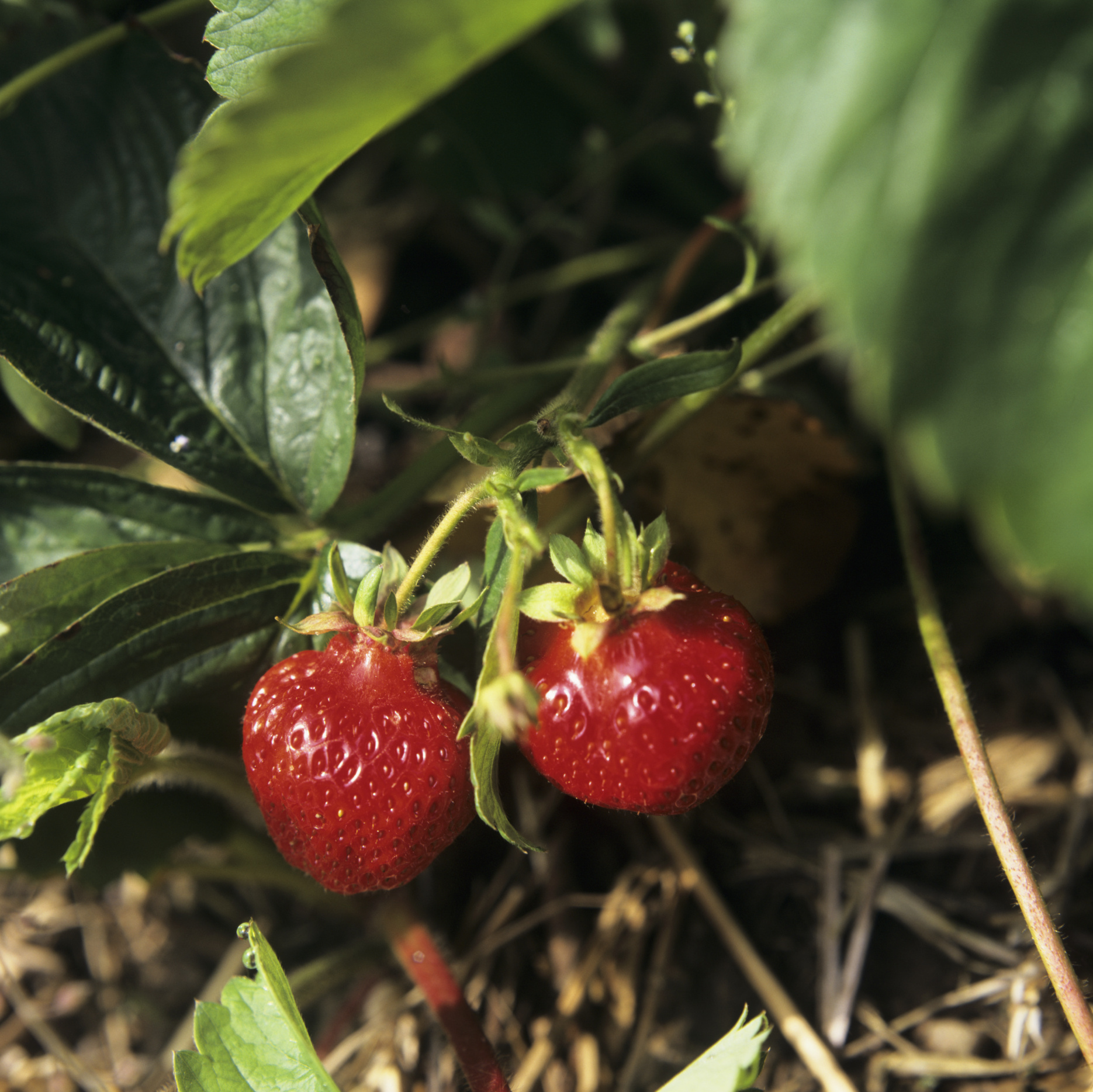 How Long After You Plant Strawberries Do You See Fruit Home