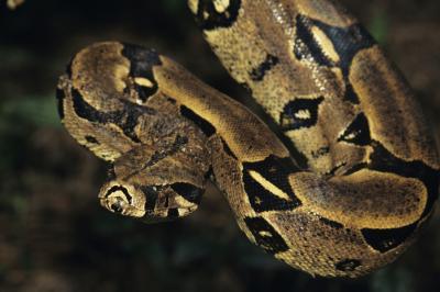 Unique Characteristics Of The Boa Constrictor Animals Mom Com