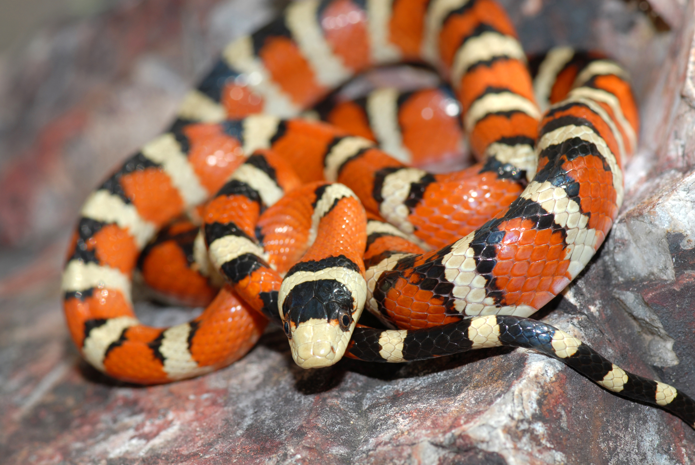 How To Identify Red Black Striped Snakes