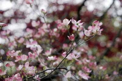 Are Japanese Cherry Blossoms Poisonous To Dogs