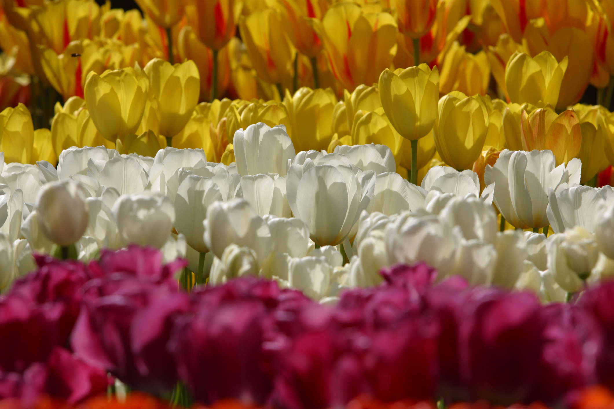 Can Tulip Bulbs Be Planted In Late Winter Or Early Spring Home