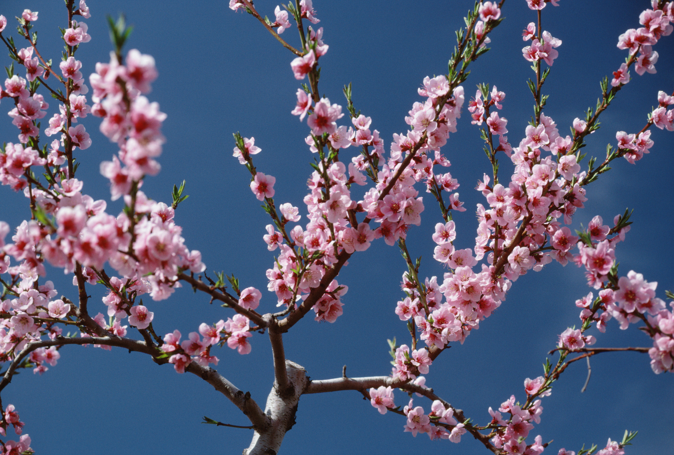 Japanese Cherry Tree Facts
