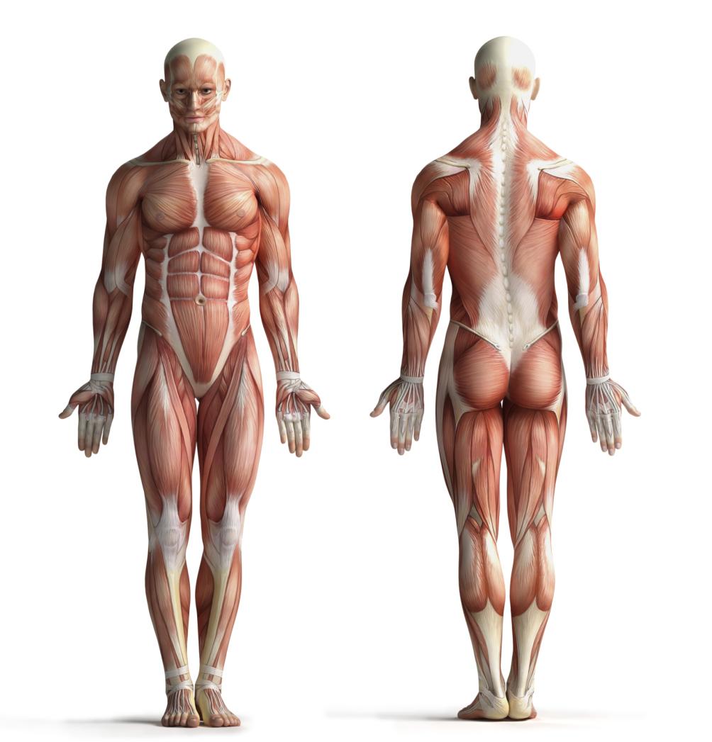 Los músculos más grandes del cuerpo humano   Muy Fitness