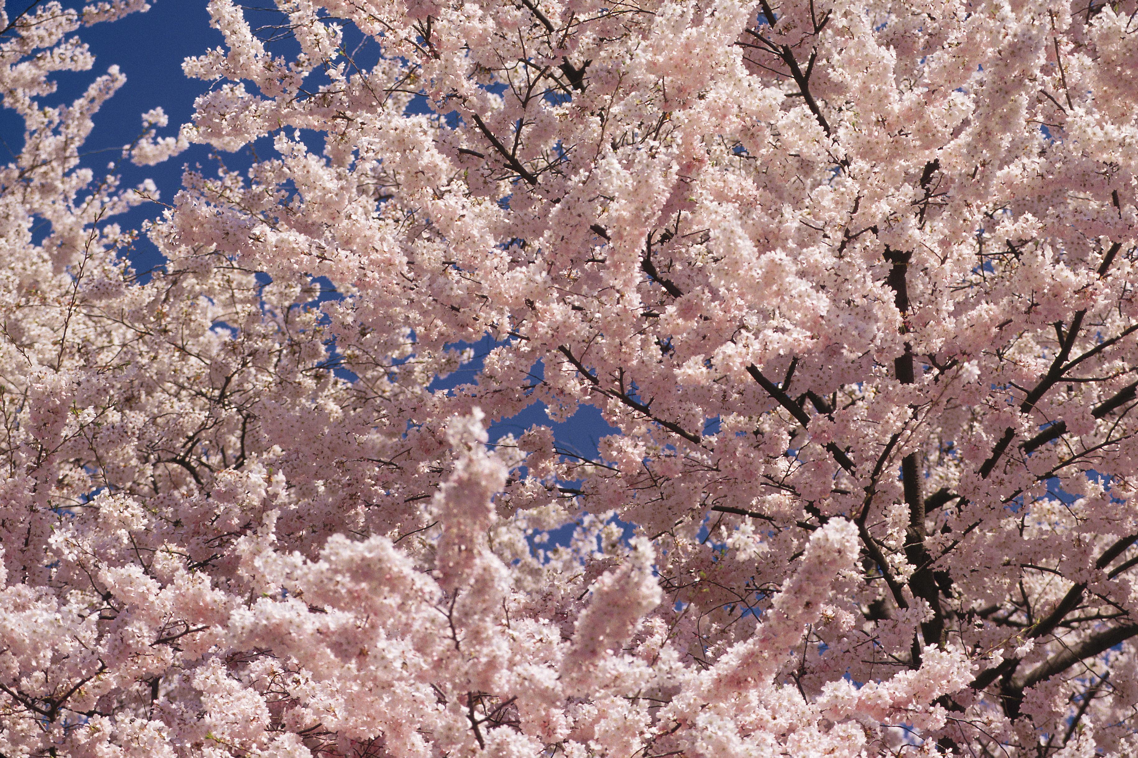 Arbol De Cerezo Japones zona de plantacion de los cerezos japoneses sakura