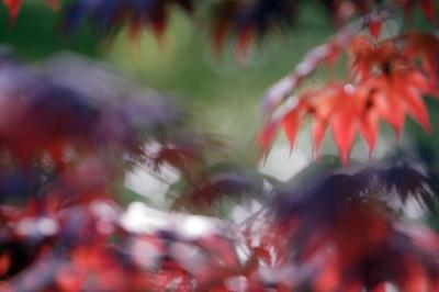 How To Grow An Acer Palmatum Orange Dream In Full Sun Home