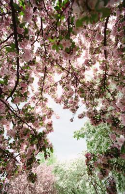 Are Weeping Cherry Trees Toxic To Dogs