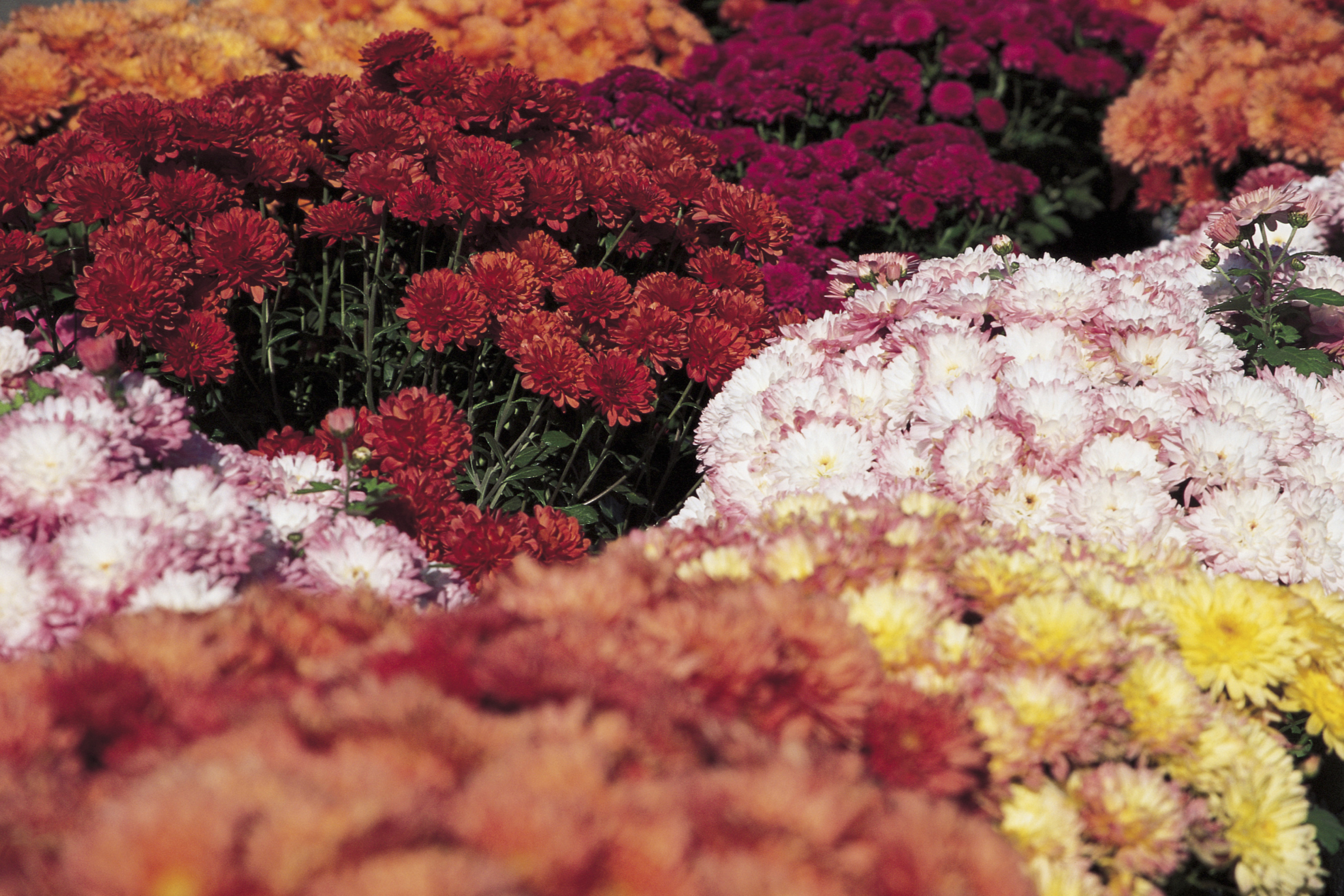 What do i do with my potted mums after they die home guides sf gate izmirmasajfo