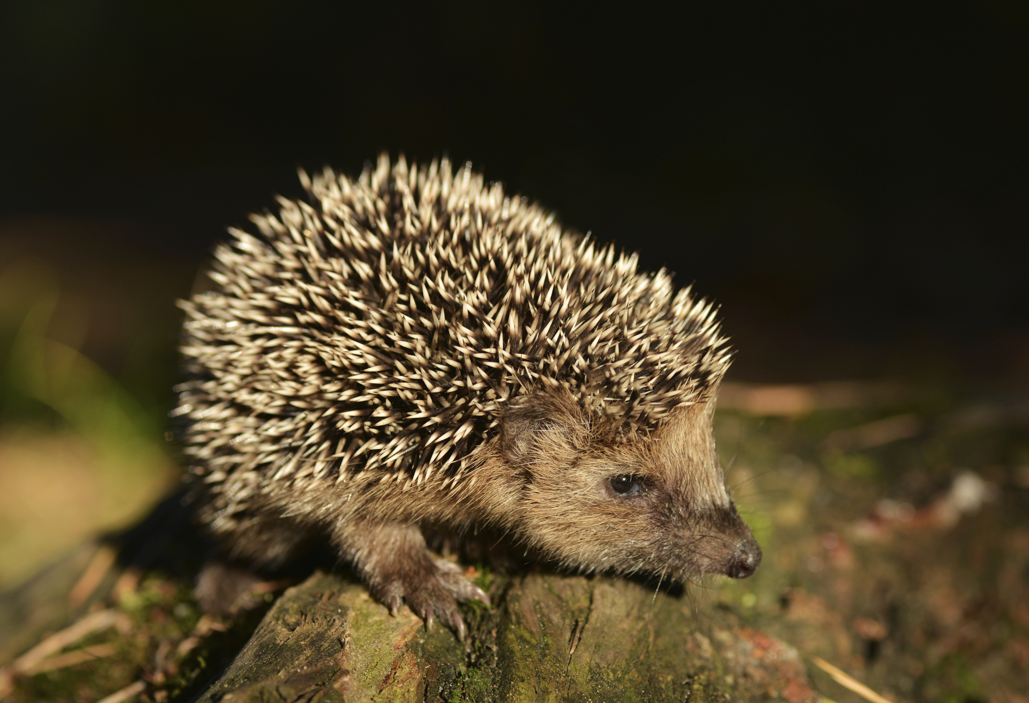 Hedgehog Adaptation Sciencing How To Build Nocturnal Animals Whisker