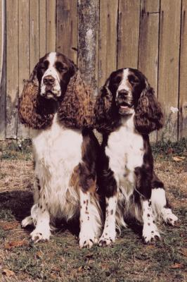 Differences In Bench Field Springer Spaniels