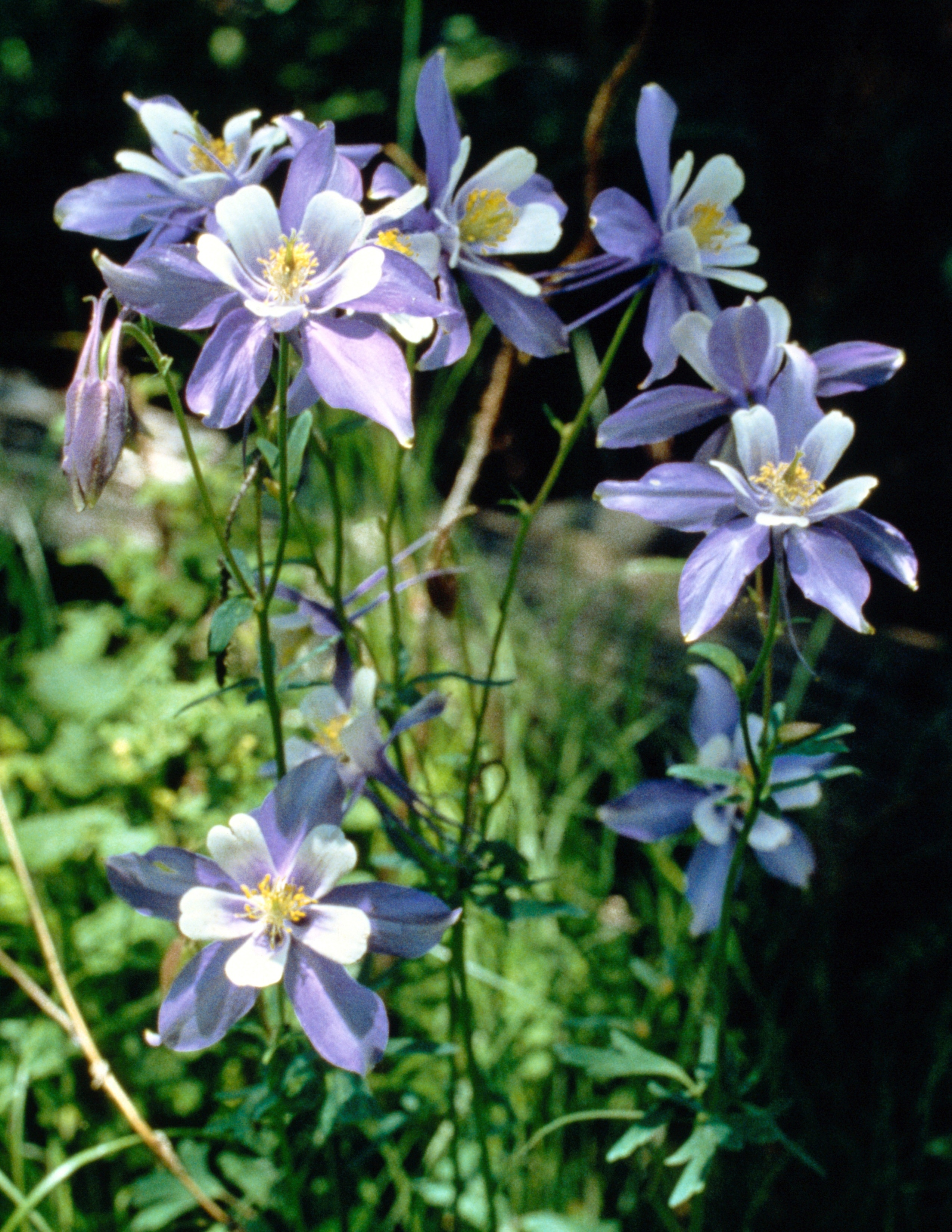 How To Prune Columbines Home Guides Sf Gate