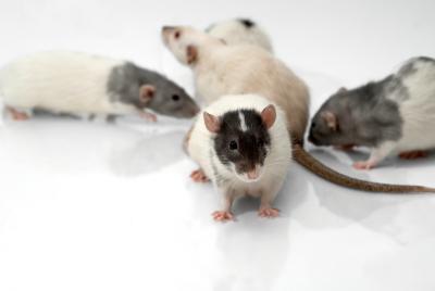 Different Breeds Of Domestic Rats Animals Mom Com