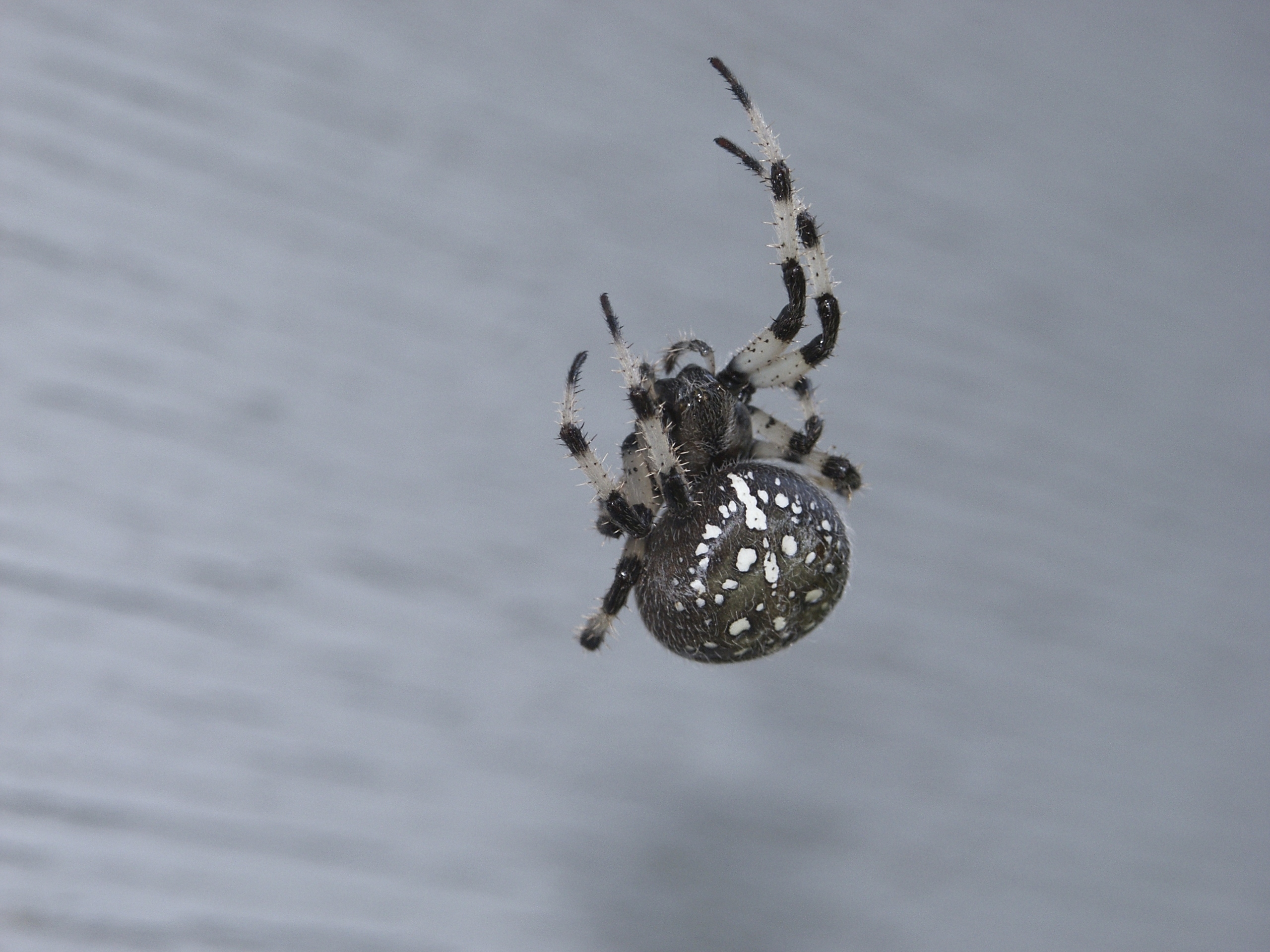 How to Identify Spiders With White Spots