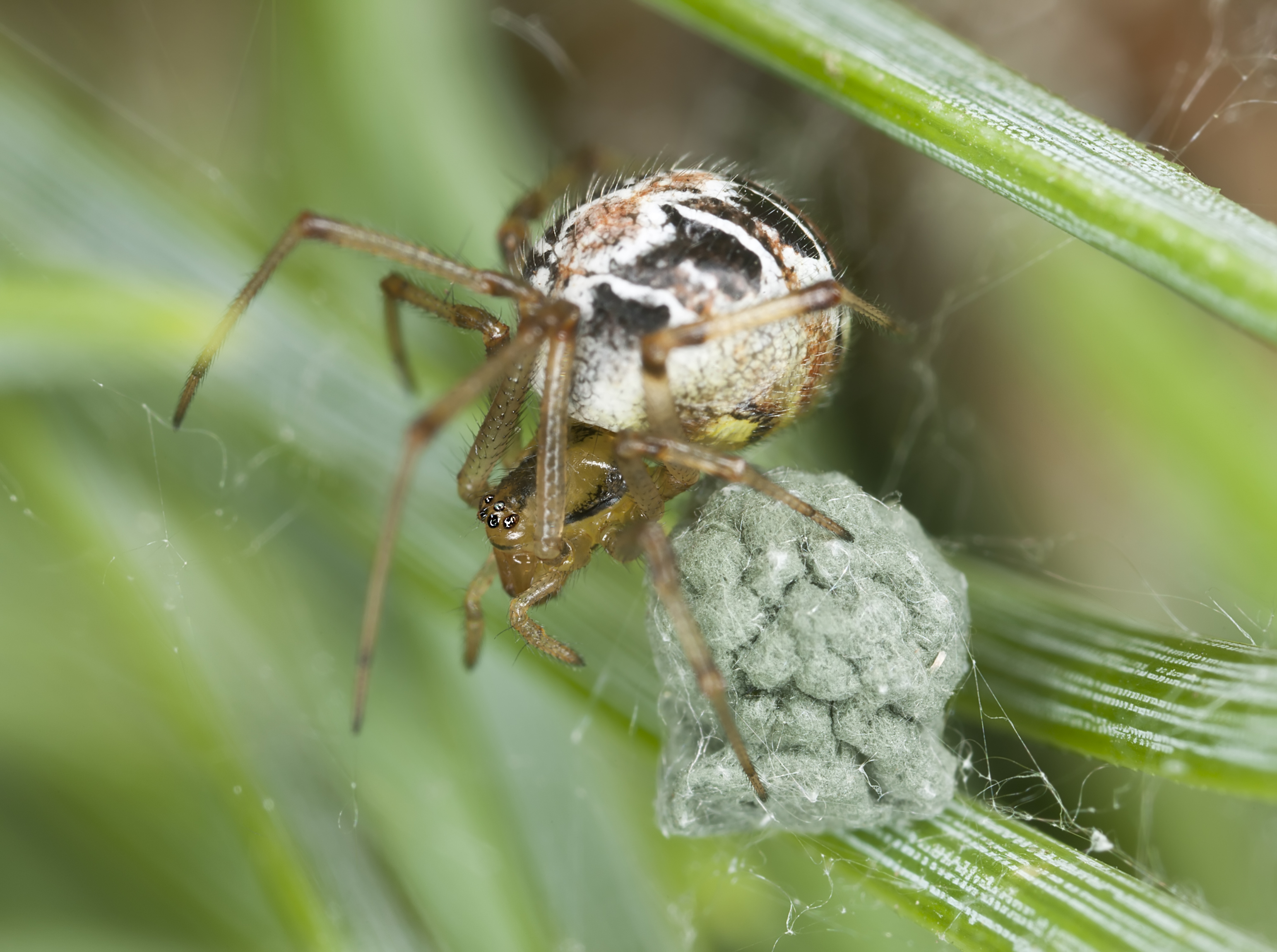 how do spiders mate? Spider Egg Diagram spider egg sac silk