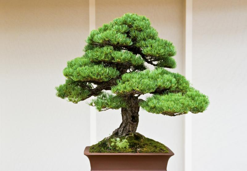 How to Get a Taper on a Formal Upright Bonsai | Home Guides