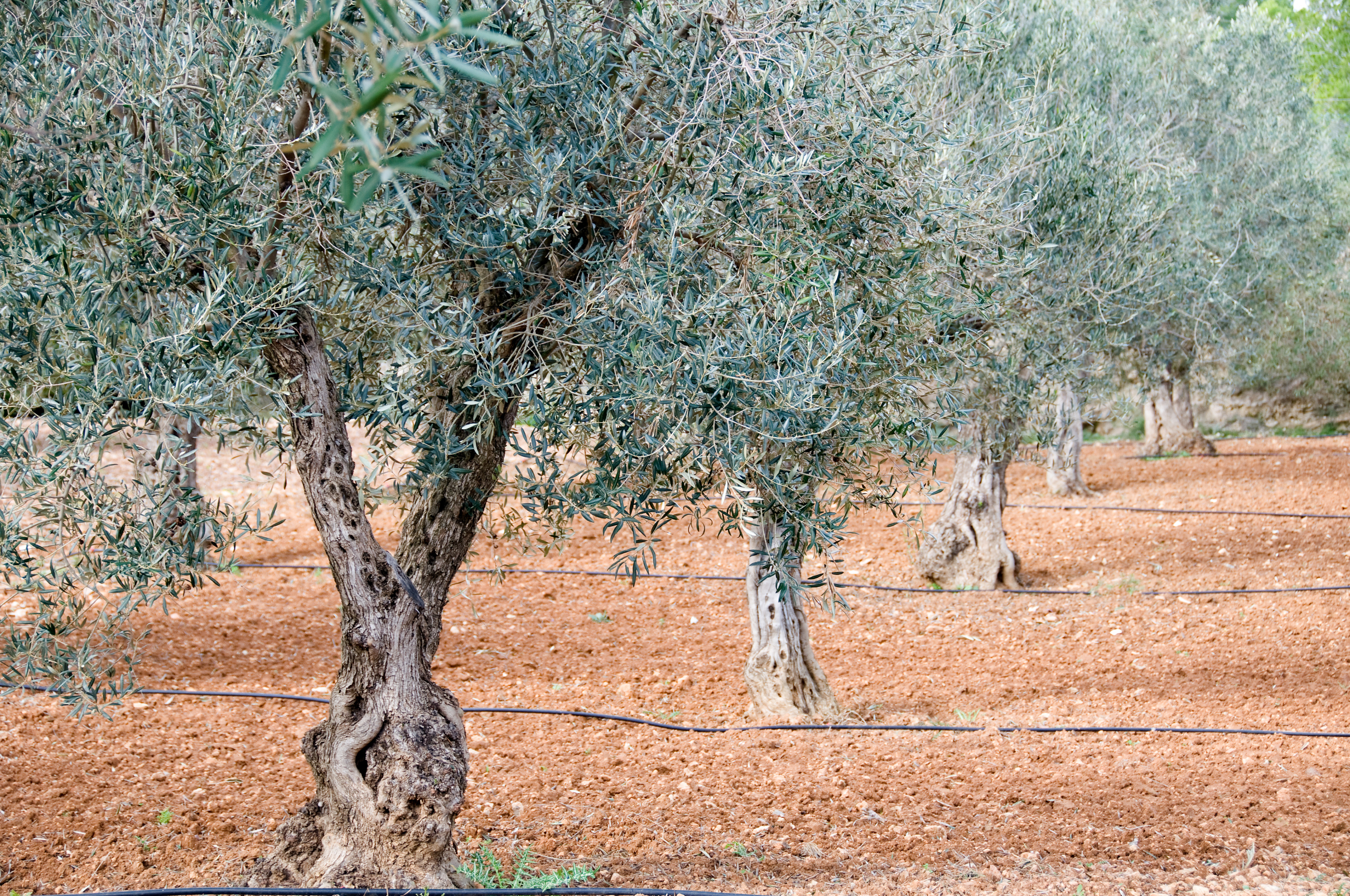 Fertilizer For Olive Trees Home Guides Sf Gate