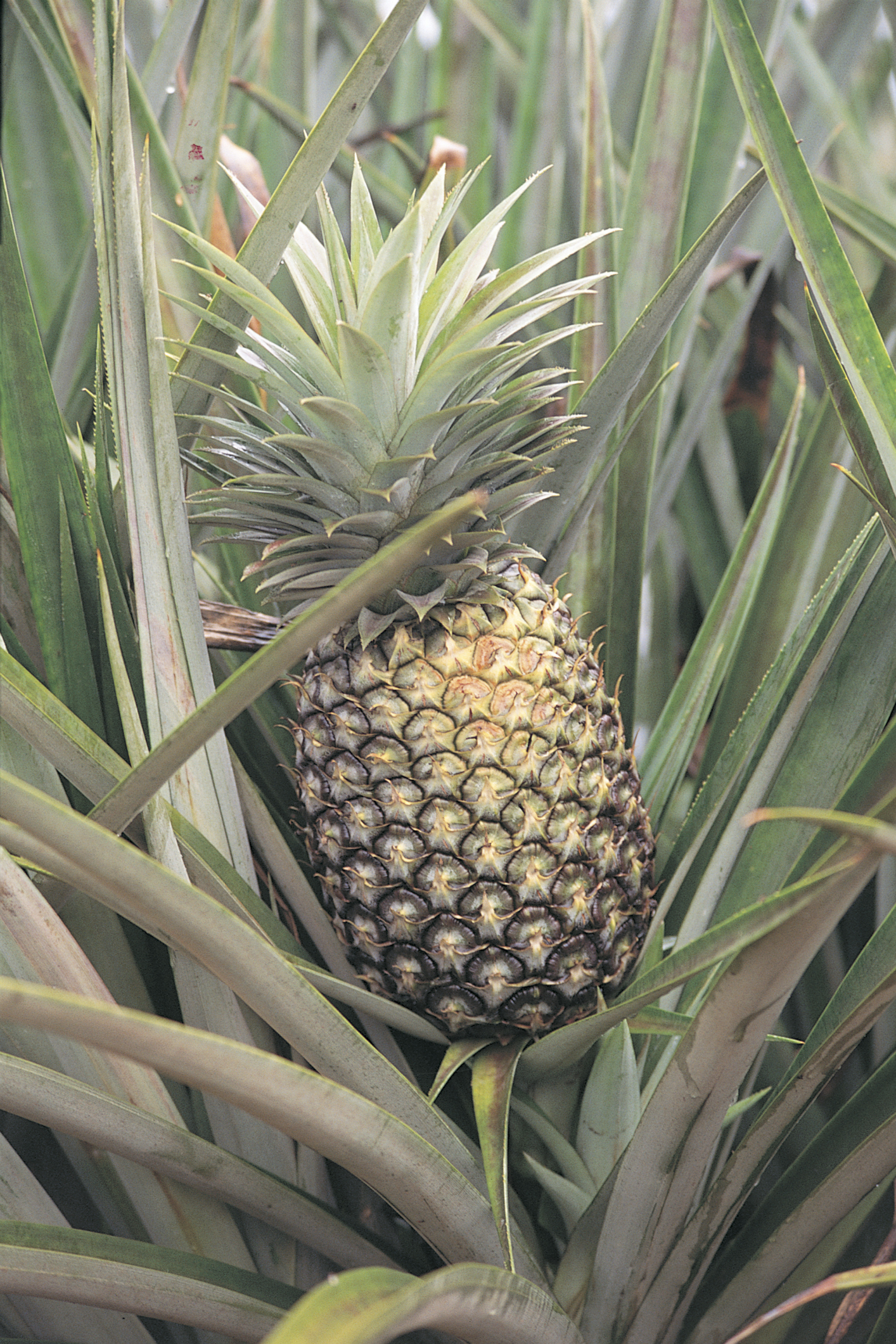 How to determine the ripeness of pineapple